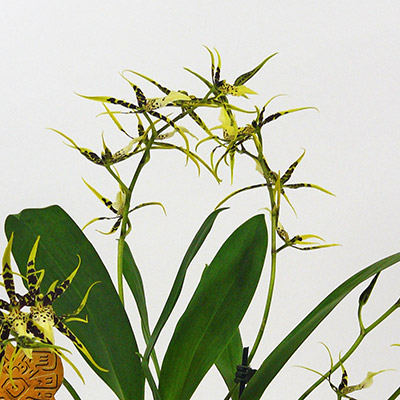 orchidee inca