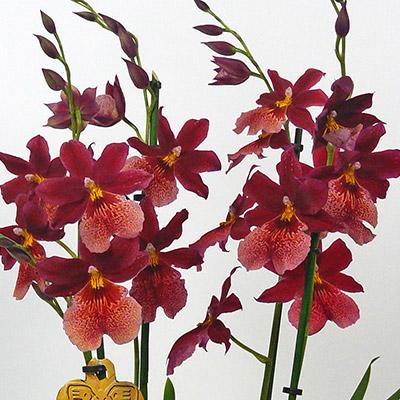 ver 1 000 bilder om cambria 39 s p pinterest orkid er. Black Bedroom Furniture Sets. Home Design Ideas